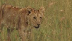 Ayoung lion cub in the long grass Stock Footage