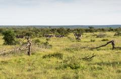 Zebras in the kruger national reserve Stock Photos