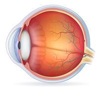 Detailed human eye anatomical illustration Stock Illustration