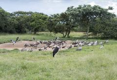 Marabou and vulture birds in the wild Stock Photos