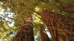 Stock Video Footage of Redwood trees, moving shot