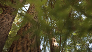 Stock Video Footage of Beautiful Redwood trees, moving shot