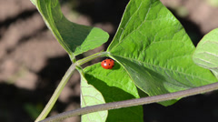 Ladybird insect animal sit on bean plant leaves move in wind Stock Footage