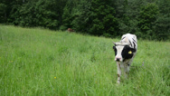 Stock Video Footage of bull animals graze in pasture surround by horseflies insects