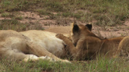 Stock Video Footage of Lion cub suckling