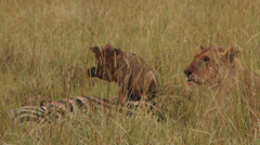 Lion cub playing on top of a dead zebra Stock Footage