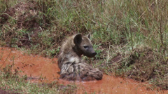 Hyena in a pool of water Stock Footage