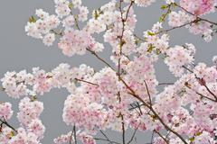 apple blossoms on gray - stock photo