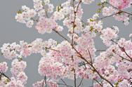 Stock Photo of apple blossoms on gray