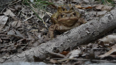 Coupling toad (Bufo bufo) in the wood Stock Footage