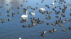Ducks and Swans. Stock Footage