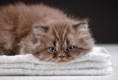 british long hair kitten - stock photo