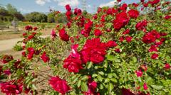 Rose Garden Stock Footage