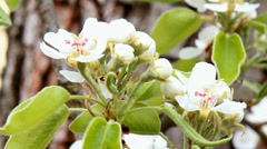 The white bloom of pear Stock Footage