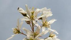 The detailed look at Bloom of tree Amelanchier Stock Footage