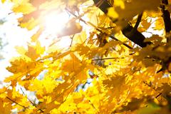 bright sun and autumn leaves - stock photo