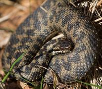 coiled adder snake - stock photo