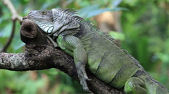 Green curious iguana reptile, lizard macro close up tree branch sleeping sleep Stock Footage