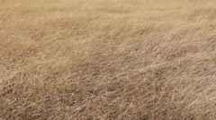 Dryland weeds in a field are gently swaying with the wind. (High Definition) - stock footage