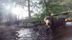 Dog fetching and swimming in a stream Stock Footage