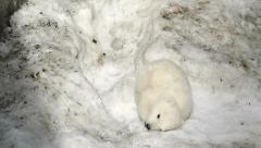 Polar Bear Baby was tired and fell asleep in the snow Stock Footage