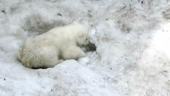 Polar Bear Baby digs a hole in the snow Stock Footage