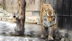 Amur tiger - stock footage