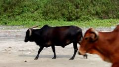 Goa stray cows Stock Footage