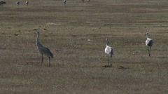 Sandhill Cranes Dance Stock Footage
