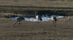 Sandhill Cranes, Cranes, Birds, Flock, Malheur, 4K Stock Footage