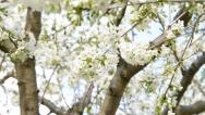 Stock Video Footage of cherry blossoms