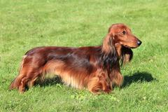 Dachshund Standard Long-haired Red dog Stock Photos