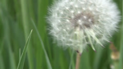 Silver dandelion ball just before it goes to seed Stock Footage