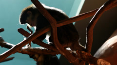 family of monkeys in the zoo - stock footage