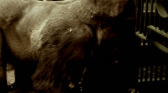 Large silver back gorilla in a zoo Stock Footage