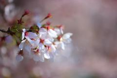 cherry blossoms blurred background - stock photo