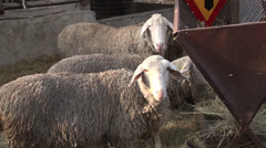 Sheep into the fold Stock Footage