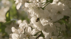 Bee collecting pollen from cherry blossom tree Stock Footage