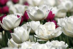 tulip flower close up nature background - stock photo