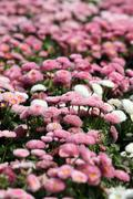 Daisy flower nature background spring season Stock Photos