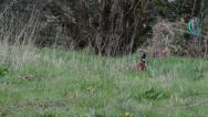Stock Video Footage of Pheasant Bird Bobbing Head Up and Down Alert in Field