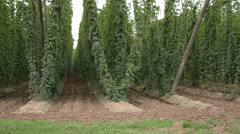 Hop-garden in vegetation Stock Footage