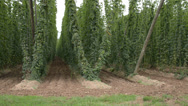 Stock Video Footage of hop-garden in vegetation
