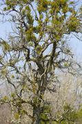 mistletoe plant trees - stock photo