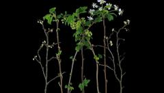 Time-lapse of growing apricot, pear, red and black currant branches 14x4 Stock Footage