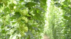 Hop-garden in the vegetation Stock Footage
