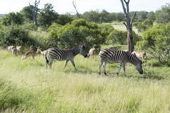 zebras in the kruger national reserve - stock photo