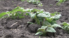 A young potato plant sprouts out of the ground. Stock Footage