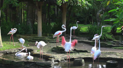 The Greater Flamingo (Phoenicopterus roseus) is the most widespread flamingo. Stock Footage