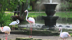 The Greater Flamingo (Phoenicopterus roseus). Stock Footage